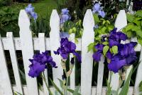 purple iris flowers along a white picket fence