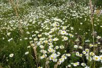 daisys on Powell Butte