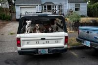 four dogs barking in the back of a pick up