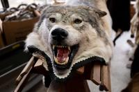 wolf skin with head