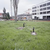 Geese SE Water and Yamhill